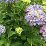 青い紫陽花の花言葉 冷酷無常-アマゾネス